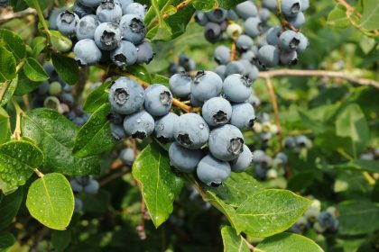 La Colline aux Bleuets - Blueberry farm