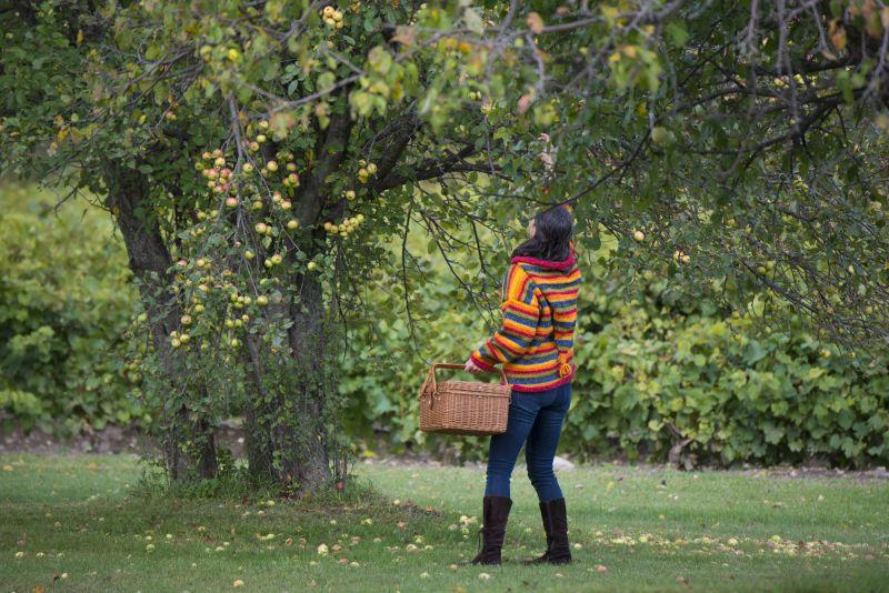 Cueillette pommes cantons-de-l'est