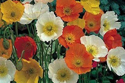 Rose Blanche - Ferme Florale
